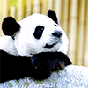 effingunicorns: a giant panda leaning on a rock, resting its chin on its front legs (keeping it casual)
