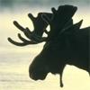 funghi: (Moose)