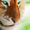 luciazephyr: golden tiger with pale green eyes ([DF] tyger tyger...)
