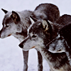 mortalcity: Three wolves standing together. (wolves | we'll run in shadows)