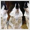 mortalcity: Three wolves howling. (wolves | we'll howl like the thunder)