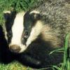 coraa: (badger)