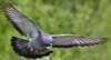 coraa: (pigeon)