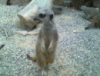 amarittabeane: meerkat (meerkat)