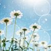 em_kellesvig: Daisies in the sunlight (Spring)