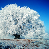 quiet_curiosity: ice covered tree (icy)