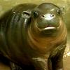 talitha78: (timepunching pygmy hippo)