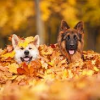 misbegotten: Two dogs sticking their heads out of a pile of autumn leaves (Autumn Dogs in Leaves)