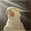 manifold: A cockatiel staring into rays of light. (•g3 : cockatiel)