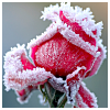 heartsteps: (frosted rose)