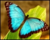 blue_morpho_designs: (Blue Morpho) (Default)