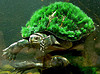 seryn: swimming turtle with grass growing on shell (turtle, world on my shoulders)