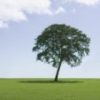 tree_and_leaf: Isolated tree in leaf, against blue sky. (Default)
