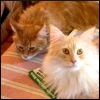 ankaret: Picture of two Maine Coon cats (Holmies)
