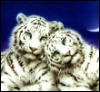 miss_ingno: two white tigers cuddling (tiger)