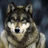 lovefornature: (Morph - Wolf)
