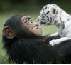 u_must_b_joking: (chimp, tiger)