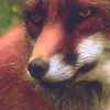 luthienberen: (Face Fox red)
