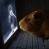 elfin_death: guinea pig (pic#976530)