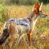 leanwellback: a black-backed jackal looking right, into the distance (Default)