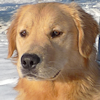 thothmes: A headshot of a golden retriever, snow in the background. (Golden Doggy)