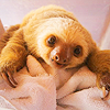slothful: baby sloth upon a towel, looking forlorn for want of cuddles (Default) (Default)