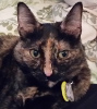 mdlbear: A tortoiseshell cat facing the camera (ticia)