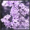 korafox: (lilacs)