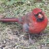 haruka: (zz - bird-cardinal baby)