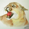 needled_ink_1975: A snarling cougar; colored pencil on paper (copyright exists, Savage)