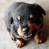were_duck: tiny rottweiler puppy making a snarling face (Wentzface Baby Wolf)