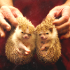 oftheuniverse: (Pictures ♥ Hedgehogs) (Default)