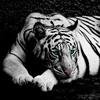 akaibara: (tiger)