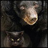 klgaffney: a small plotting black cat is sitting between the forepaws of a cheerful looking asian black bear. (w.)