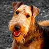 craterdweller: (STOCK: airedale)
