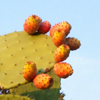 prickly: (prickly pear)