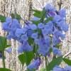 netpositive: (bluebells)