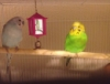 slssfrncghst: Two parakeets on a perch, one sky blue and white and one green and yellow. They are separated by a toy with a bell. (birds) (Default)