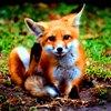 sheistheweather: (Cute, Little-Fox, Awww)