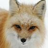 sheistheweather: (Fox, Look)