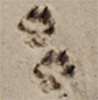 dawn_felagund: (pawprints)