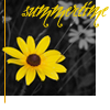 dawn_felagund: (black-eyed susan)
