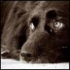 n_xif: (черный печальный собак)