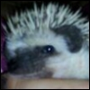 anthylorrel: (hedgyhog)