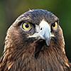 ext_909977: golden eagle (golden eagle)