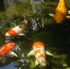 koiture: koi in koi pond at the innovation centre (Default)