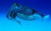 biodoc: picture of a cuttlefish (cuttlefish)