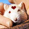 kabal42: A white rat, held by a person, cradled under their chin. The rat has a red heart on its forehead. (Animals - Rat white w. heart)