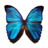 casey_papillon: picture of a blue butterfly on a transparent background (Default)