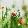 cwicum: (tulips)
